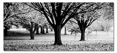 Throw in Some Colour. ([ Kane ]) Tags: park trees winter white black tree fall grass leaves contrast photography australia crop qld kane gledhill 50d 16x7 kanegledhill wwwhumanhabitscomau kanegledhillphotography