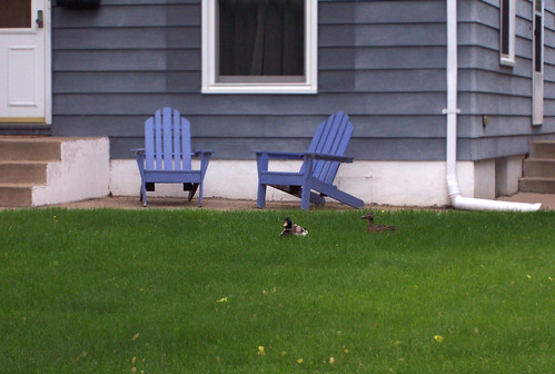 ducks in our yard