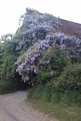 Wisteria-covered barn between Boxted and Stoke-by-Nayland