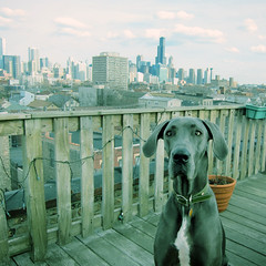 Stella in the City (k.james) Tags: city stella urban chicago rooftop skyline downtown loop searstower great metropolis dane westtown willistower