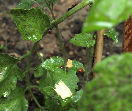 eat the mites!