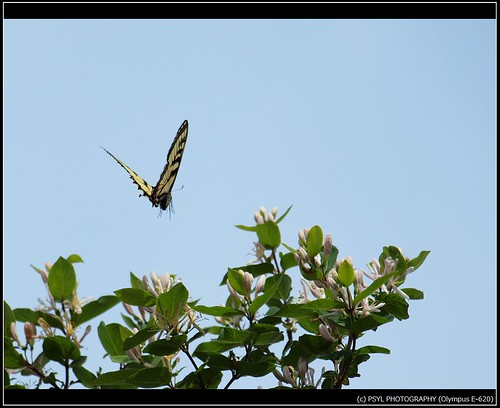 Eastern Tiger Swallowtail (Papilio glaucus) 3