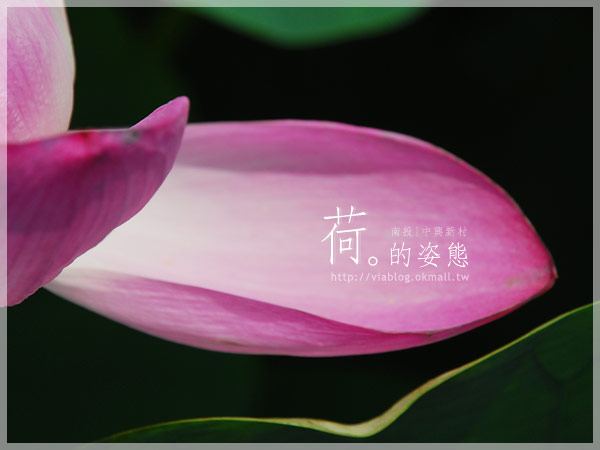 【2010賞荷】南投中興新村~荷花(蓮花)池準備盛放!17