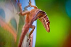 A Florida Lizard (Samantha Decker) Tags: macro photoshop canon eos rebel florida bokeh reptile lizard adobe fl dslr tamron postprocess cs4 500d superzoom 1