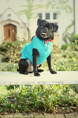 Maverick, the pug, ring bearer