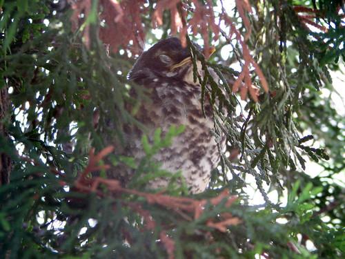 Baby American Robin sleeping in tree