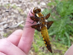 Broad-Bodied Chaser (ukstormchaser (A.k.a The Bug Whisperer)) Tags: uk animal animals fly dragonflies dragonfly wildlife flies milton keynes chaser broadbodied