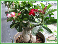 A gorgeous bonsai Adenium obesum (Desert Rose), with 2 varieties grafted together