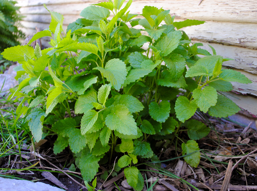 trusty lemon balm