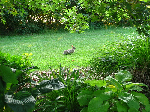bunny in the front yard