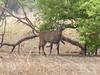 Waterbuck, Pendjari park, Benin