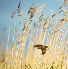 sparrow in flight (azem) Tags: lake plant bird reed nature birds square fly flying spring flight macedonia ohrid sparrow oher azemgettypicks