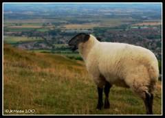 Sheep Sing (JKmedia) Tags: nature grass one countryside sheep wildlife farming gloucestershire sing hillside wooly cheltenham orton 15challengeswinner jkmedia pregamesweepwinner