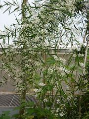 Asparagus falcatus (2) (Sophie Leguil) Tags: flowers brussels garden botanical belgium jardin asparagus botanique meise falcatus