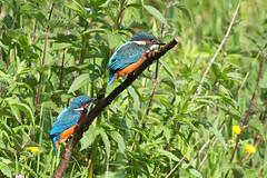 Kingfishers (Alcedo atthis) (FlyingV99) Tags: bird water river suffolk fishing kingfisher british colourful waveney alcedo atthis