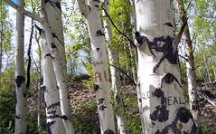 Carved Birch Trees on the Top of the Rockies Scenic Byway