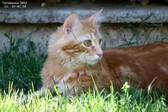 Chats roux tigré