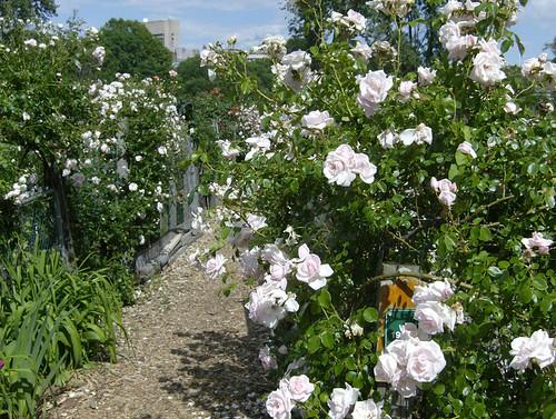 rose strewn path
