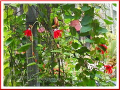 Passiflora miniata / Passiflora coccinea hort., draped on a 4.5 m tall pole that is enclosed with wire-netting