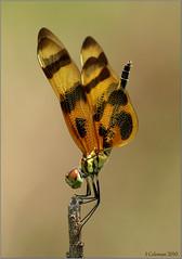 A real scorcher! (feenixfotography) Tags: halloweenpennant celisthemiseponina oipcomp022011