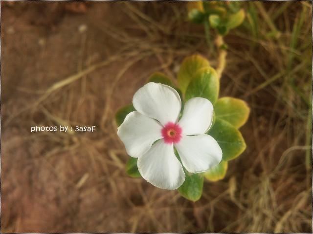 الوردّ أهل الوردّ والوردّ يآكثر