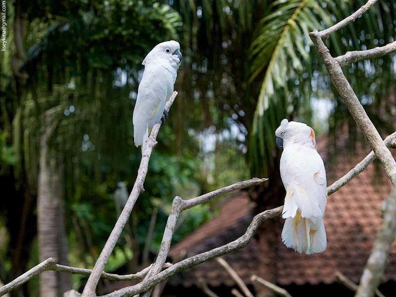 white umbrella cockatoo