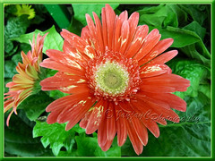 Gerbera jamesonii - variegated orange+cream rays with creamy central disk