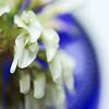 (bratli) Tags: blue white flower macro june shallow clover