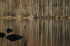Pyhajarvi, Priikoolinnokka (Niall Corbet) Tags: lake reflection tree suomi finland duck birch lempaala