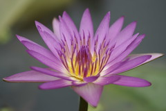 Water lily (ddsnet) Tags: plant flower gallery waterlily sony hsinchu taiwan aquatic   aquaticplants 900         sinpu hsinpu  tetragona water colorphotoaward   900 lily  nymphaeatetragona    plants flowerinjapan nymphaeatetragon aquatic nymphaea tetragona photoshavebeeningallery plantsnymphaea