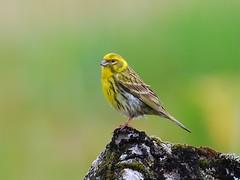 Chamariz - Serinus serinus (anacm.silva) Tags: wild bird portugal nature birds wildlife natureza aves ave serinusserinus vidaselvagem milheirinha serradafreita chamariz animalkingdomelite