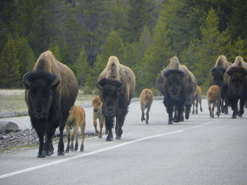Herds of buffalo stopped traffic