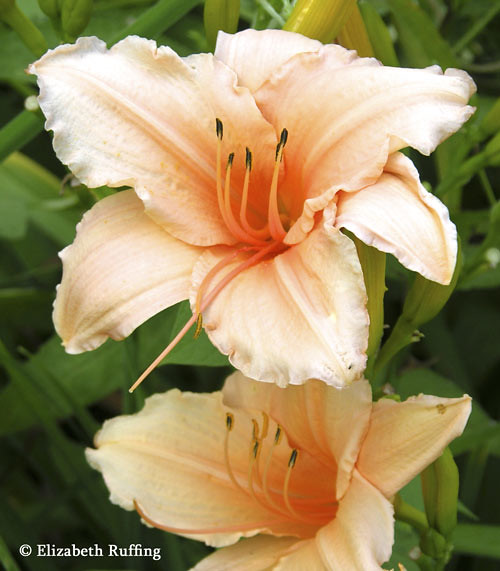 Pale Orange Daylilies