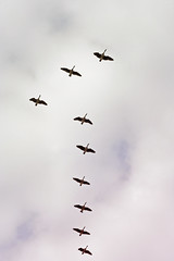 Migratory birds / Branta canadensis (vongum) Tags: birds finland flock canadagoose brantacanadensis lintu october3 migratorybird againstsky kanadanhanhi parvi muuttolintu