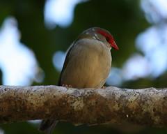 Red-browed Finch (HeatherW) Tags: bird flickr finch springbrooknationalpark redbrowedfiretail neochmiatemporalis