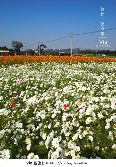 【2010新社花海】via帶大家欣賞全台最美的花海!8