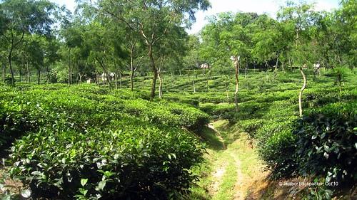 Srimangal Finlay
