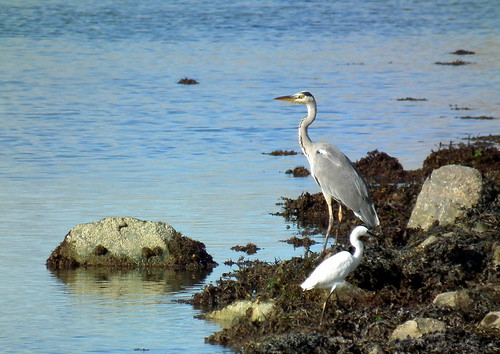 Heron and Egrit, Anglesey