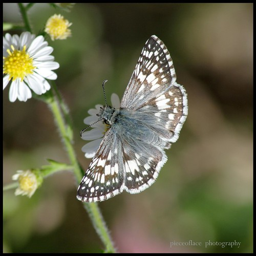 Common Checkered Skipper (Pyrgus communis)...