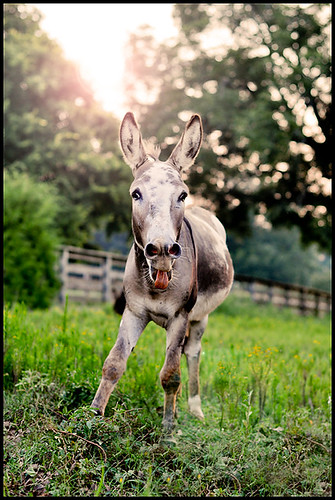 """Neener Neener"" Donkey"