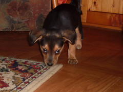 Hunde - 59 (Manfred Lentz) Tags: pets dogs puppy pups puppies hunde littledogs welpen hndchen babydogs whelps