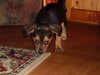 Hunde - 59 (Manfred Lentz) Tags: pets dogs puppy pups puppies hunde littledogs welpen hündchen babydogs whelps