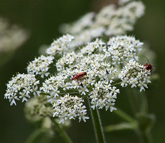 Summers bugs.. (Ollie_57) Tags: summer england plant flower macro nature fauna canon bug insect flora bokeh beetle july devon bloom wildflower 2010 teignmouth soldierbeetle 50d hbw coombevalley tamronsp90mm ollie57
