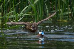 I Said I Have A Headache! (Amy Hudechek Photography) Tags: ruddy duck chase female male mating courtship summer colorado lake amyhudechek nature wildlife bird