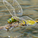 Emperor Dragonfly (Anax imperator) female laying eggs