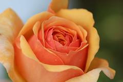 Rose (LuckyMeyer) Tags: sommer rose garten makro regen david austin orange natur