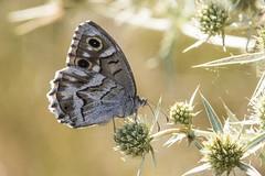 Chevron blanc (Hipparchia fidia) (mhyrdin) Tags: butterflies papillons rhopalocères laclape aude
