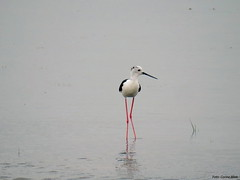 Black-winged Stilt (Corine Bliek) Tags: himantopushimantopus bird birds vogelvogels steltlopers waders nature natuur wetlands wildlife
