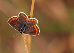 Brown argus (aricia agestis) 018 (saxonfenken) Tags: augustfield 6803but 6803 butterfly insect smallcopper tiny small perpetual pregamewinner friendlychallenges gamesweep challengeyouwinner