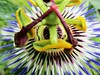 """The passion of a donald duck lookalike"" (seanwalsh4) Tags: passionflower donaldducklookalike 7dwf wednesdaysmacrocloseup cartoon flora nature happy nice fun funny macro closeup pareidolia seeingfacesinthings laugh joking colourful bright boom humour"